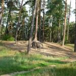 Сосны при въезде в лес