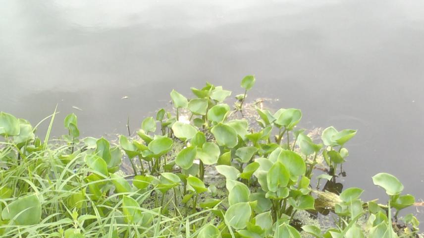 Лилии на пруду в Токарево.