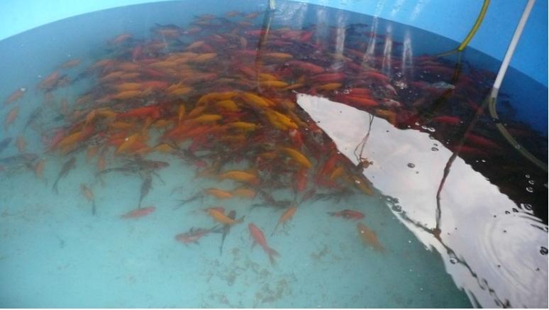 Золотые рыбки - карась